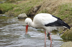 White stork at lake (Ciconia ciconia) Stock Photography