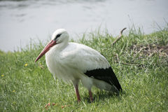 White Stork at the lake. White male Stork at the lake Royalty Free Stock Photography