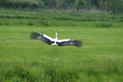 White Stork landing in field. Rear view of European white stork landing in green countryside field stock photography