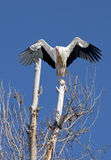 White stork landing on a tree branch. A white stork, Ciconia ciconia, with wings outspread, landing on a tree branch. Against a blue sky in Spain Royalty Free Stock Photos