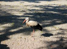 White stork. The white stork is a large bird in the stork family Ciconiidae stock image