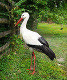 White Stork. Large bird - White stork standing in the grass Stock Photo