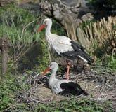 White stork 10 Stock Image