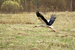 White stork flies over the field Royalty Free Stock Images