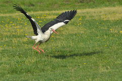 The white stork looking for food in the meadow. Long red legs and beak. Stock Images