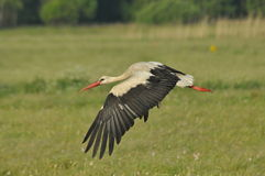 The white stork looking for food in the meadow. Long red legs and beak. Stock Photo