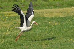 The white stork looking for food in the meadow. Long red legs and beak. Stock Photography