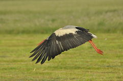 The white stork looking for food in the meadow. Royalty Free Stock Photography