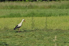 The white stork looking for food in the meadow. Long red legs and beak. Mowing the meadows Royalty Free Stock Photos