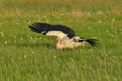 The white stork looking for food in the meadow. Long red legs and beak. Royalty Free Stock Photo