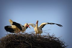 White stork mating ritual Stock Images