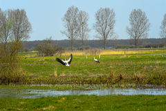 White stork in meadow, Poland Royalty Free Stock Image