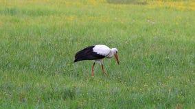 White stork stock video footage