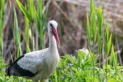 White Stork in the Nature Habitat Ciconia ciconia. Wildlife royalty free stock photo