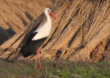 White stork near dry reed Royalty Free Stock Images