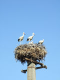 White stork on the nest. White stork in the nest on blue background Royalty Free Stock Images