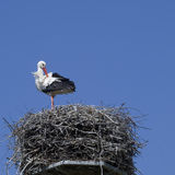 White stork on nest Royalty Free Stock Photo
