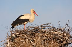 White stork on nest Royalty Free Stock Photos