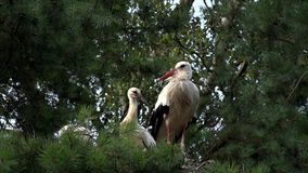 White stork in nest stock footage