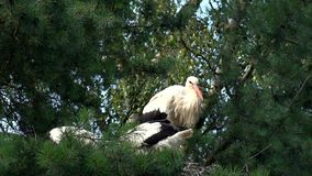 White stork in nest stock video footage