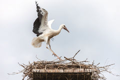 White stork in the nest Royalty Free Stock Image