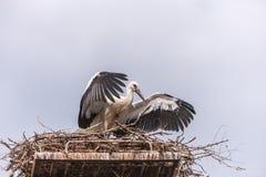 White stork in the nest Stock Image