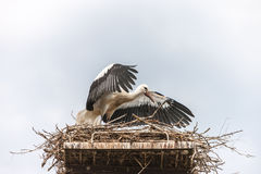 White stork in the nest Royalty Free Stock Photography