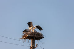 White stork in the nest Royalty Free Stock Images