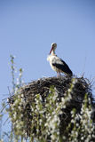 White stork. In the nest with blurred flowering spring tree in front Stock Images