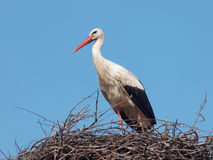 White Stork in the nest (Ciconia ciconia) Royalty Free Stock Photography