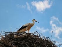White stork and nest Ciconia ciconia Stock Image