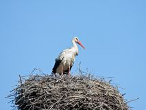 White stork in a nest. The white stork costs in a big nest from rods against the blue sky Royalty Free Stock Photos