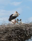 White Stork in the nest Royalty Free Stock Photo