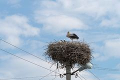 White Stork in the nest on electric pole Stock Photo