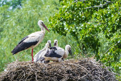 White stork nest Royalty Free Stock Image