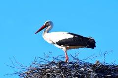 White stork in nest stock photo