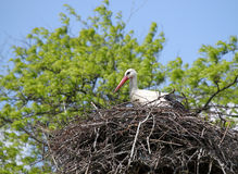 White stork in nest Royalty Free Stock Image