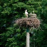 White stork in a nest Stock Photo