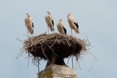White Stork in the Nest Stock Photos