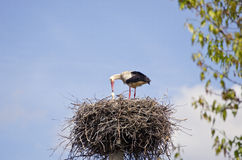 White stork in nest on sky background Stock Photography