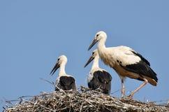 White Stork on nest in spring Stock Image