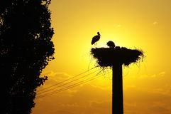 White Stork nest in the sunset. White Stork nest in the light of the beautiful sunset royalty free stock photos