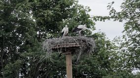 White Stork nest. And two young storks stock video footage