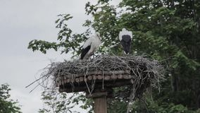 White Stork nest. And two young storks stock video