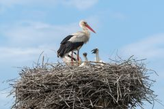 White Stork in the nest Stock Photography