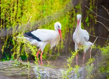 White stork nesting. The white stork, Ciconia ciconia, is a large bird in the stork family Ciconiidae. Its plumage is mainly white, with black on its wings royalty free stock images