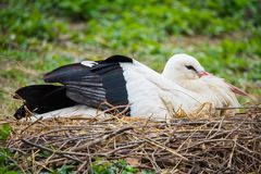 White stork nesting. The white stork, Ciconia ciconia, is a large bird in the stork family Ciconiidae. Its plumage is mainly white, with black on its wings royalty free stock photo