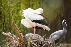 White stork nesting. The white stork, Ciconia ciconia, is a large bird in the stork family Ciconiidae. Its plumage is mainly white, with black on its wings stock photos