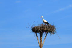 White stork. On a nesting pole on a sunny, spring day in Holland Royalty Free Stock Photo