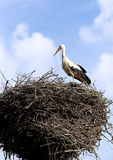 White-stork in a nisting place Stock Photos